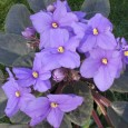 African Violets Still Tie-in Free after all these years!